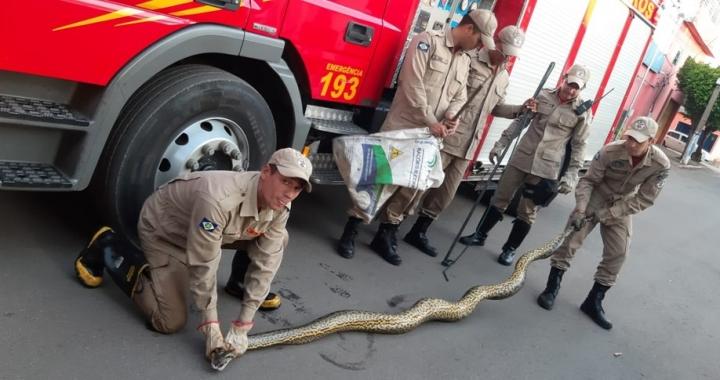 Moradores encontram cobra de 5 metros perto de córrego em cidade de MT