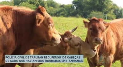 POLÍCIA CIVIL DE TAPURAH RECUPEROU 105 CABEÇAS DE GADO QUE HAVIAM SIDO ROUBADAS